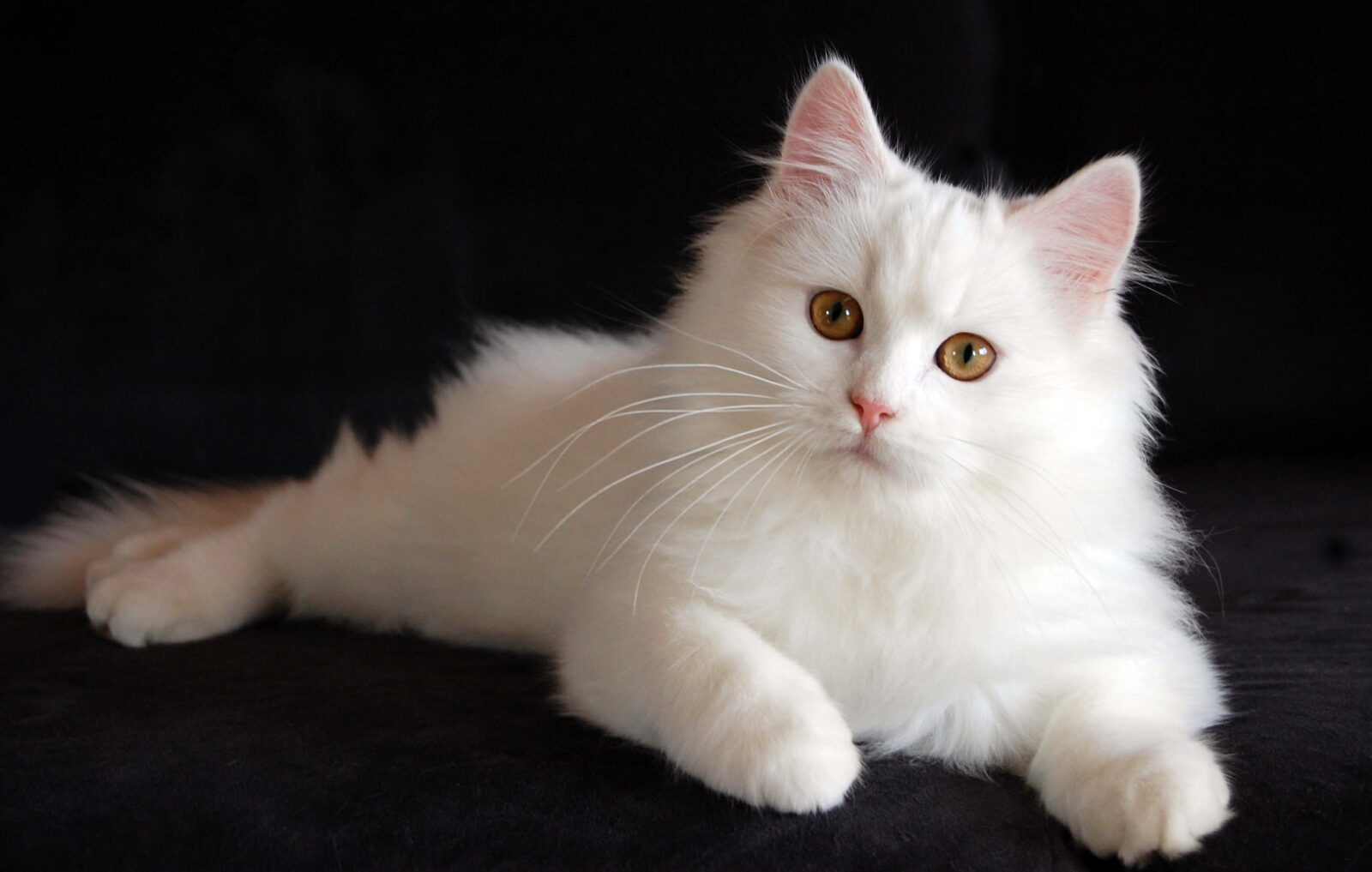 Top 12 Most Expensive(cutest)Cats in the World
