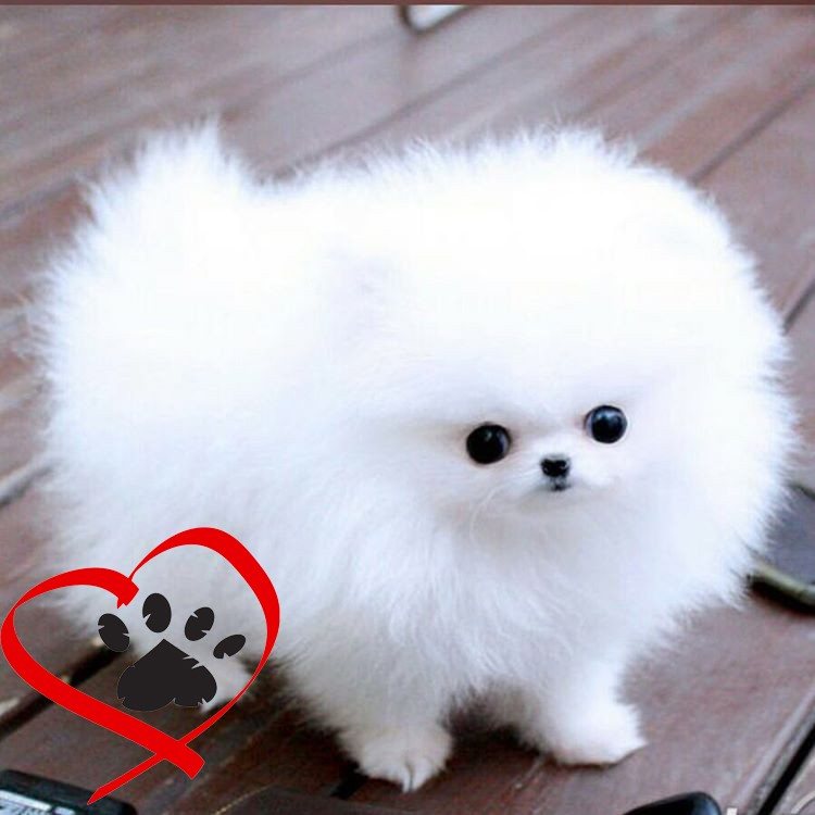 Top 32 Small Dogs Who Make Good Apartment Dogs - Dogtime |The Most Smallest Dog In The World